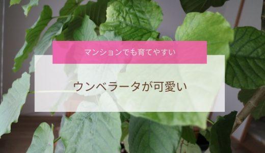 マンションでも育てやすい観葉植物「ウンベラータ」が可愛い