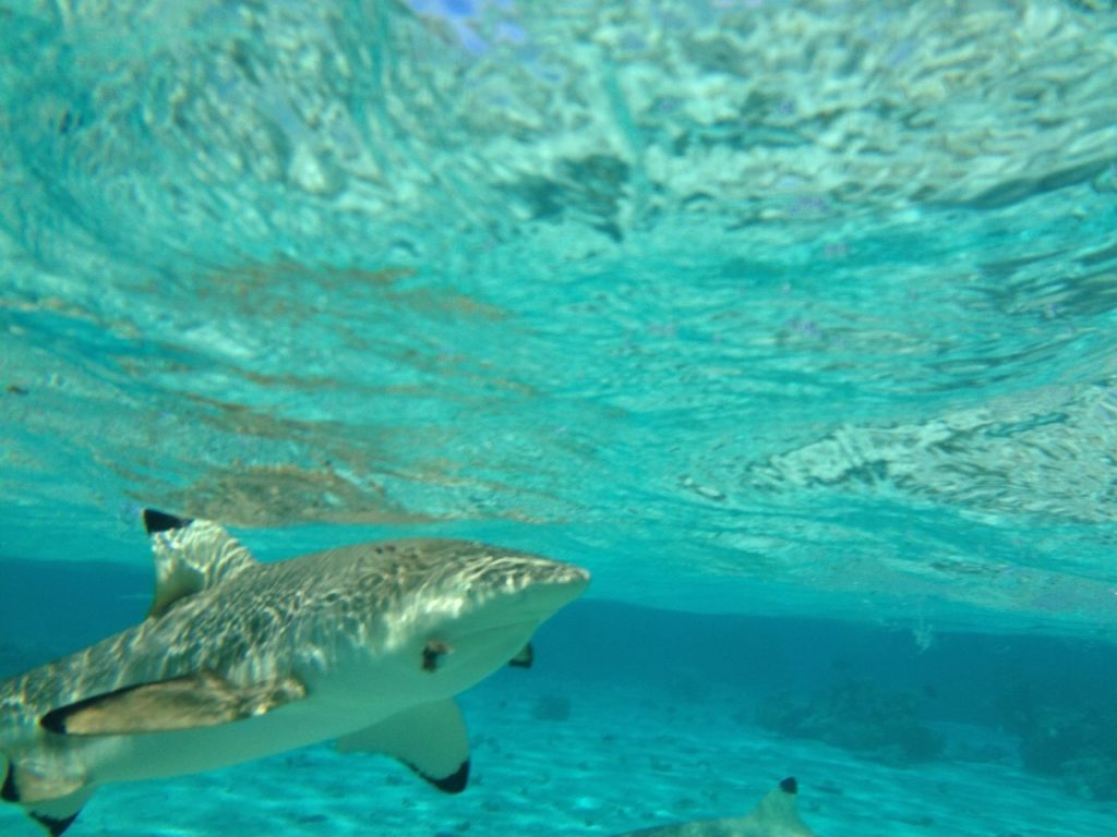 タヒチのアクティビティーでみた至近距離のサメ