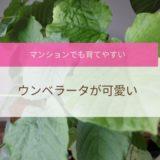 ウンベラータはインテリアにもぴったり|初心者でも育てやすい観葉植物