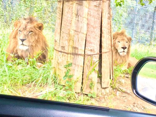 姫路セントラルパークのドライブサファリのライオン