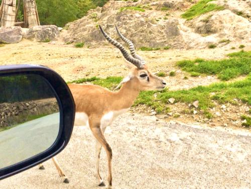 姫路セントラルパークのドライブサファリの鹿