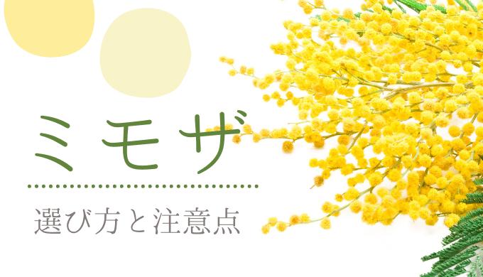 ミモザ(アカシア)を購入する際の注意点。切り花だと開花がむずかしい。